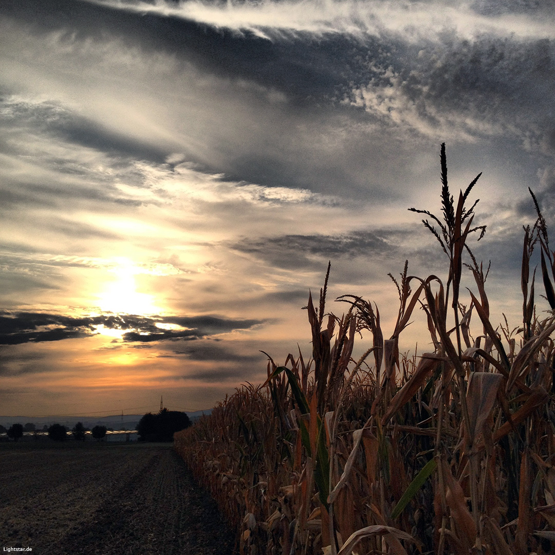 2012-09-11 Sonnenaufgang im Maisfeld Pattonville